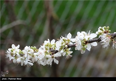 Spring Blooms in Iran's Northern City of Tonekabon