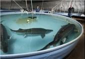 شهرستان تالش به قطب پرورش ماهیان خاویاری در کشور تبدیل میشود