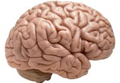Discovery Challenges Belief about Brain's Cellular Makeup