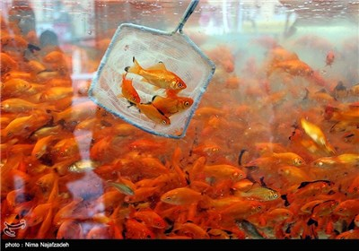 Goldfish for Haft-Sin Table