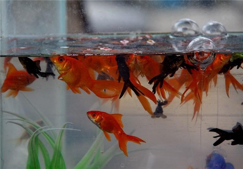 ماهی عید2