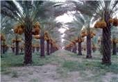 اصلاح شیوه آبیاری 2.7 میلیون نخل در بوشهر با مدیریت جهادی
