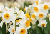 جشنواره گردشگری گل نرگس بهمن ماه در کازرون برگزار میشود