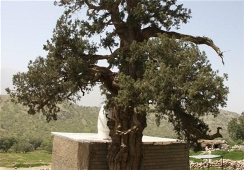 درخت سرو 2700 ساله شهرستان باشت جاذبهای برای گردشگران نوروزی