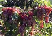 برداشت بیش از 1800 تن انگور از باغات نطنز