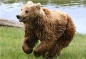 شکارچی خرس قهوهای در مشگینشهر به حبس تعزیری و جریمه نقدی محکوم شد