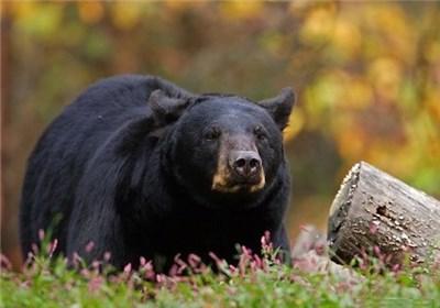 گونه در خطر انقراض خرس سیاه در روستای روکشه شهرستان قصرقند