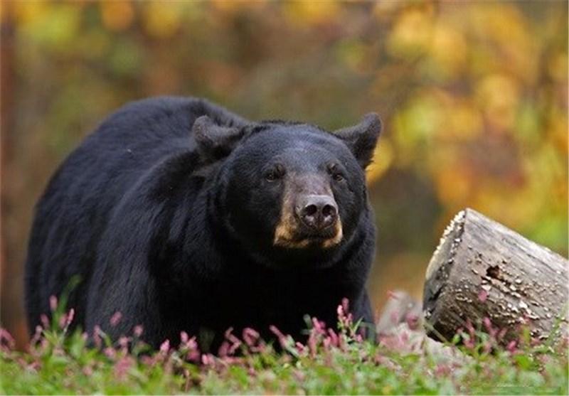 عاقبت مردی که با یک تیر و کمان به شکار خرس رفت + فیلم و عکس