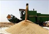 بیش از 126 هزار تن گندم در گنبدکاووس تولید شد