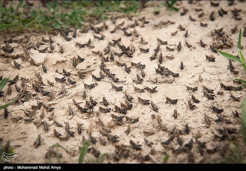 پرورش ملخ، زنبور و کرم به عنوان خوراک دام و انسان در آینده