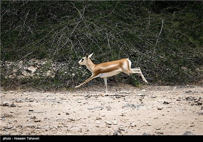 Persian Deer on Kish Island