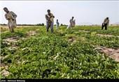 برداشت محصولات جالیزی خارج از فصل جلگه چاه هاشم - سیستان وبلوچستان