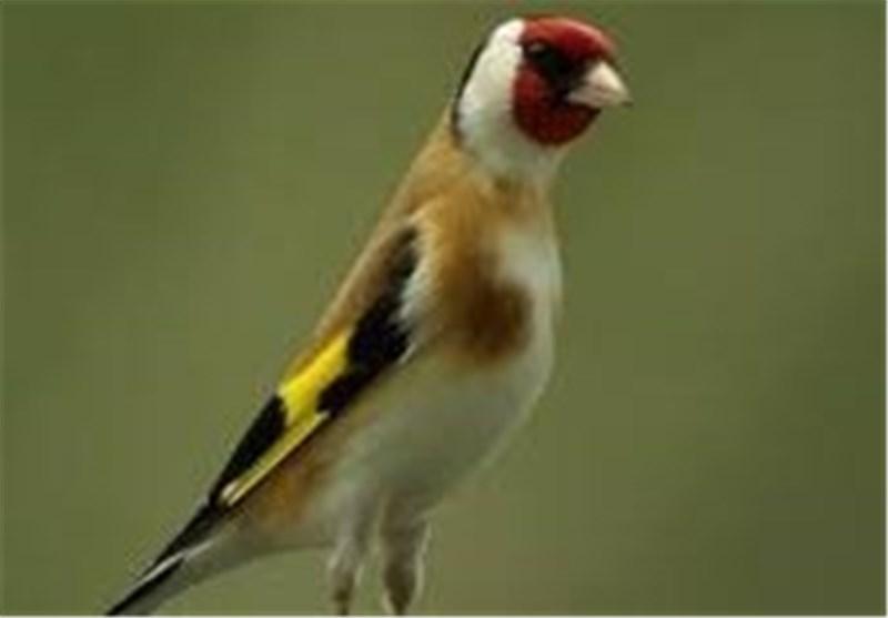 آموزش آوازخوانی به پرندگان با استفاده از نور