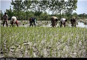 بدء زراعة الرز فی شمال ایران
