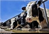 گاوداران دهاقانی چشم به راه نگاه ویژه مسئولان برای افزایش قیمت شیر خام