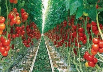 صادرات بیش از ۲۰۰ هزار تن محصولات گلخانهای از یزد