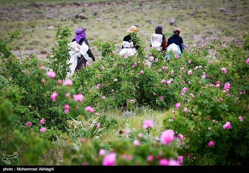 Qamsar: An Iranian Town Famous for Its Roses, Rosewater, Rose Perfume