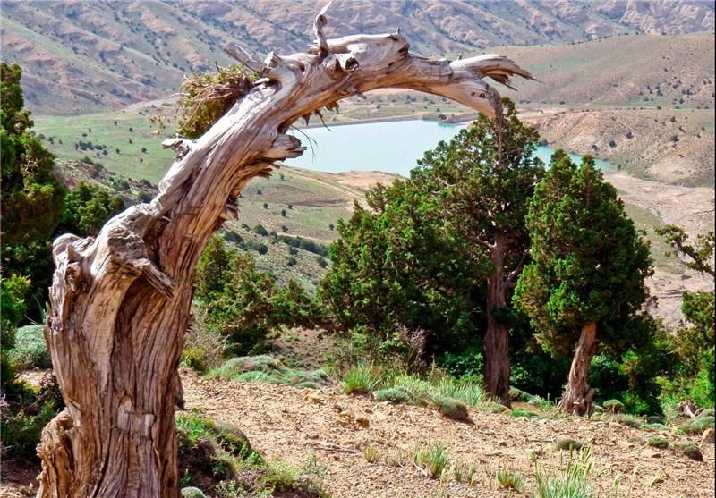 منطقه خوش ییلاق ، درخت کهن سال اورس
