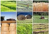126 هزار تن محصول تضمینی از کشاورزان همدان خریداری شد////انتشار////