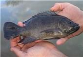 سازمان محیط زیست همچنان با تکثیر و پرورش ماهی تیلاپیا مخالف است
