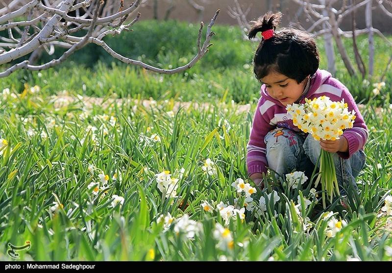غرفه فروش گل نرگس خوسف در فرودگاه تهران راهاندازی میشود