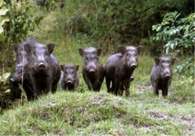 الخنازیر «الإسرائیلیة» تقلق مجددا المزارعین الأردنیین