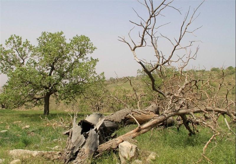 بیش از 33 درصد جنگلهای کرمانشاه مبتلا به پدیده زوال بلوط است