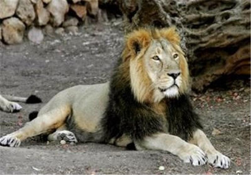 جزئیات حمله شیر به یک مسئول در قزوین؛ بی احتیاطی در بوستان ملی باراجین حادثه آفرید