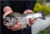 7 هزار تن ماهی قزلآلا در آذربایجانغربی تولید شد