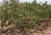کرمان| بیش از 95 درصد محصولات پسته در انار و رفسنجان خسارت دیده است