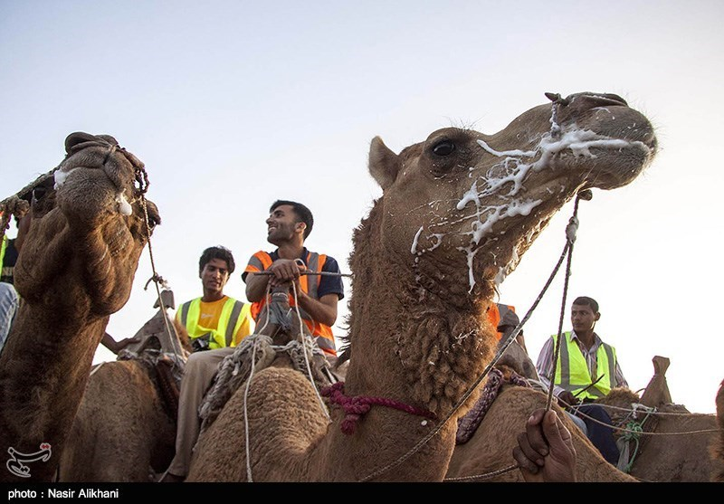 Camel-Riding Competitions Held on Island of Qeshm