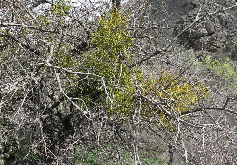 وجود گیاه نیمهانگلی دارواش در جنگلهای طارم نگرانکننده نیست