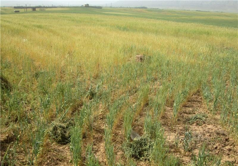 تنش خشکسالی در کوهدشت؛ کشت تولیدات دیم کاهش مییابد