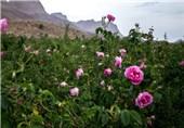 برداشت گل محمدی از 300 هکتار مزارع شهرستان بافت آغاز شد