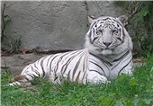 Iran to Import Rare White Tiger from Germany