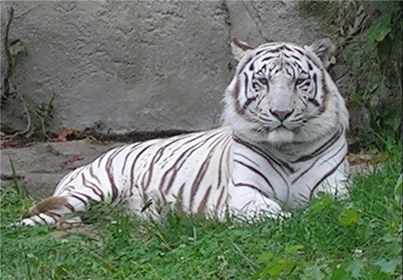 Rare White Tiger Imported from Germany Enters Tehran Zoo