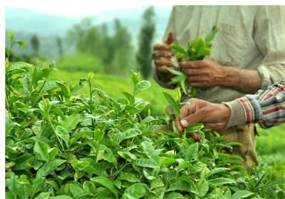واردات چای ایران از هند ۱۲ درصد افزایش یافت