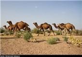 ورود سرمایهگذار خارجی به پرورش شتر در استان فارس