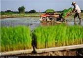 آغاز اولین برداشت مکانیزه برنج کشور در آمل/ پیش بینی یک میلیون و 500 هزار تن تولید برنج در استان مازندران+ فیلم