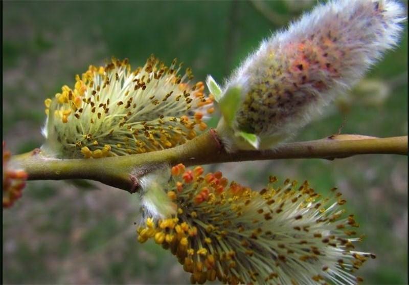 گیاهان دارویی بومی آذربایجان در بازارهای جهانی جایگاه ویژهای دارند
