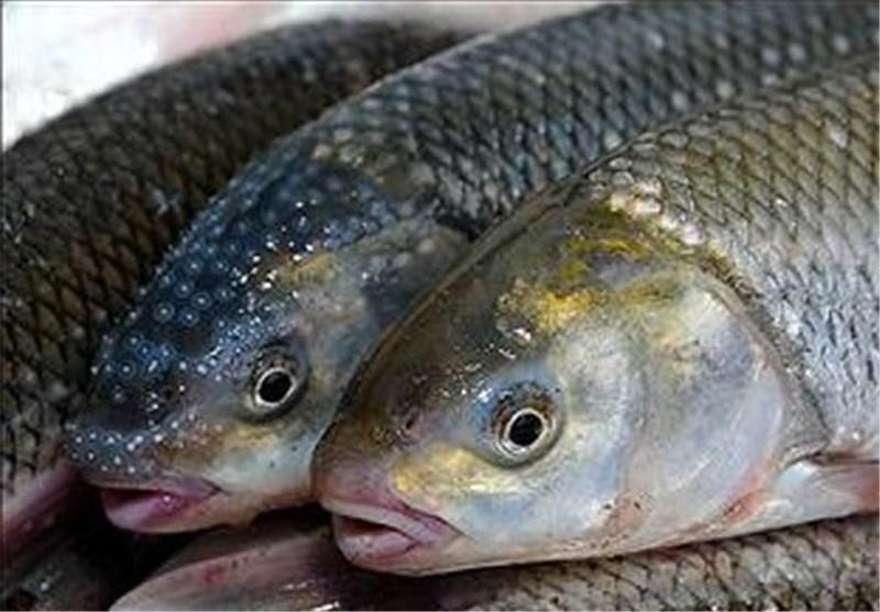 """""""پرورش ماهی در قفس در دریا"""" از مهمترین پروژههای سازمان شیلات است"""
