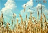 18 هزار تن گندم تضمینی از کشاورزان خراسان جنوبی خریداری شد