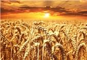 5 هزار تن گندم بذری در خدابنده تولید شد