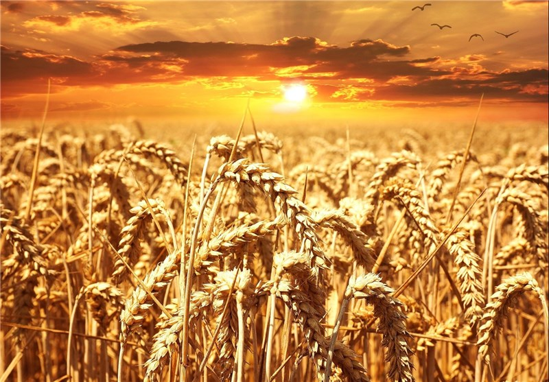 Official: Iran Poised to Export Wheat as Total Production Rises