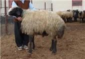 گوسفند زوانوف