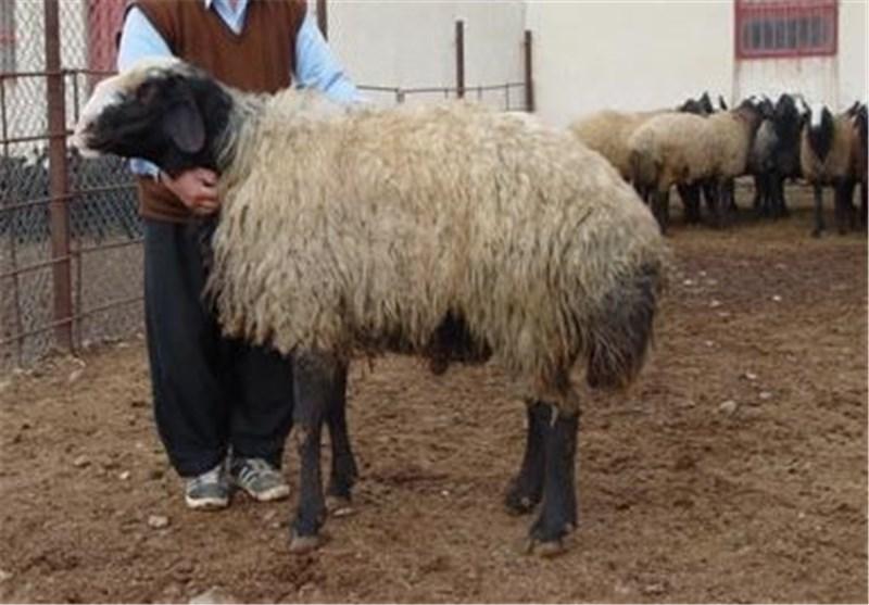 تهرانیها از کجا گوسفند قربانی بخرند؟+جدول
