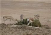 جمعیت وحوش و پستانداران شاخص مناطق شکار ممنوع دشتستان و تنگستان افزایش یافت