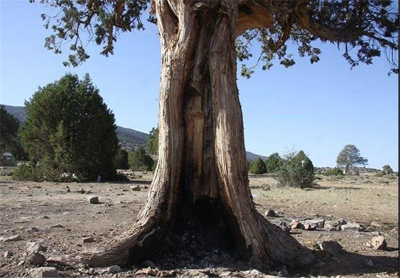 سمنان|حفظ گونه گیاهی اُرس یکی از مهمترین رویکردهای اداره کل منابع طبیعی است