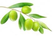 برنامههای وزارت جهاد کشاورزی برای افزایش مصرف زیتون در کشور