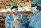 بیماری آنفولانزای مرغی
